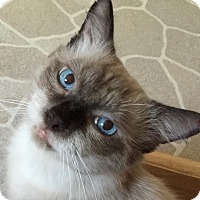Ragdoll Cat for adoption in Mesa, Arizona - TOMMY