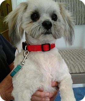 Lhasa Apso Dog for adoption in Apple Valley, California - Coco- ADOPTED 11/21/16!