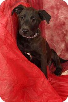 Labrador Retriever/Shepherd (Unknown Type) Mix Dog for adoption in St. Louis, Missouri - Pluto (Creed) Labshep