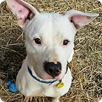 Bulldog/American Pit Bull Terrier Mix Dog for adoption in Strongsville, Ohio - Snow