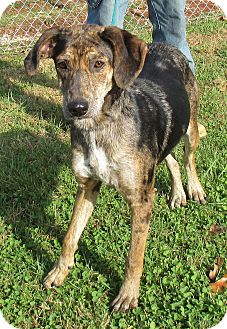 Catahoula Leopard Dog Mix Dog for adoption in Reeds Spring, Missouri - Iris