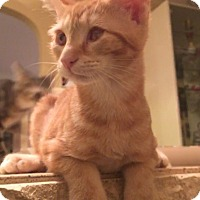 Adopt A Pet :: Pumpkin - Raritan, NJ