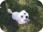 Cockapoo Mix Dog for adoption in Simi Valley, California - ashley
