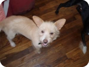 Norfolk Terrier Mix Dog for adoption in Atascadero, California - Tink