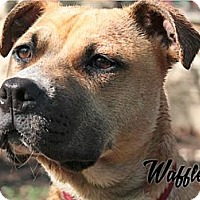 Adopt A Pet :: Waffles - Cary, IL