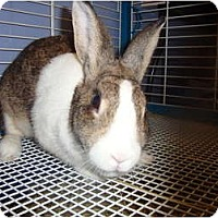 Adopt A Pet :: Bunny Foo Foo - Winter Haven, FL