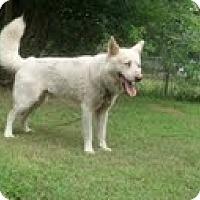 Adopt A Pet :: Zeus the Husky - Homewood, AL