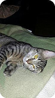 Domestic Shorthair Kitten for adoption in Miami, Florida - Kitty