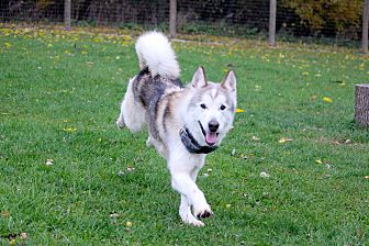 Siberian Husky Dog for adoption in Sycamore, Illinois - DJ