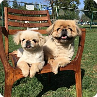 Adopt A Pet :: Little Mama & Leo the Lion - Van Nuys, CA