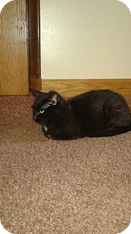 Domestic Shorthair Cat for adoption in Minneapolis, Minnesota - Onyx