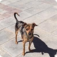 Adopt A Pet :: Junior - Las Vegas, NV