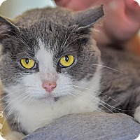 Domestic Shorthair Cat for adoption in Martinsville, Indiana - Dutchess
