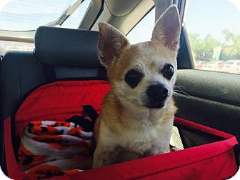 Chihuahua Mix Dog for adoption in Tucson, Arizona - Zeus
