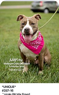 American Pit Bull Terrier Mix Dog for adoption in Zanesville, Ohio - Unique - Urgent!