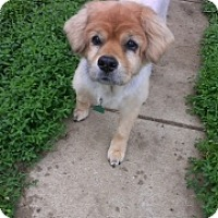 Chow Chow Mix Dog for adoption in Fishers, Indiana - Magnolia Mae