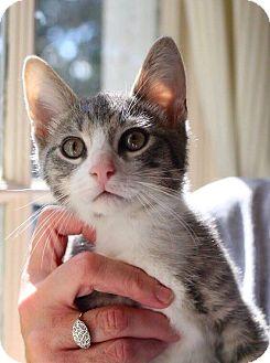 Domestic Shorthair Kitten for adoption in Butner, North Carolina - Lucky