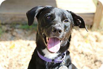 Labrador Retriever Mix Dog for adoption in Breinigsville, Pennsylvania - Dexter