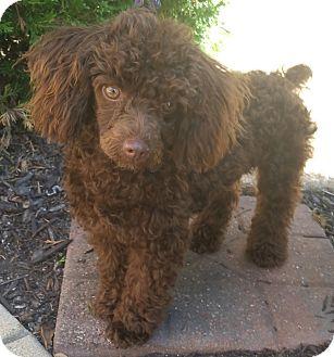 Poodle (Toy or Tea Cup) Puppy for adoption in Bridgeton, Missouri - CoCo-Adoption pending