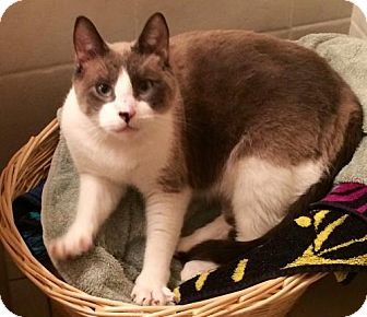 Siamese Cat for adoption in Miramar, Florida - Kichi