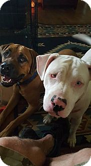American Bulldog/American Pit Bull Terrier Mix Dog for adoption in Morgantown, Indiana - TEAGAN