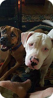 American Bulldog/American Pit Bull Terrier Mix Dog for adoption in Morgantown, Indiana - TEAGAN