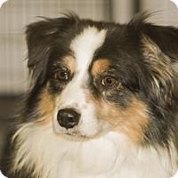 Australian Shepherd Dog for adoption in Colorado Springs, Colorado - Gunner