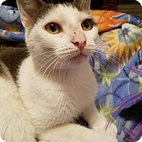 Adopt A Pet :: Sophie - Glen Mills, PA