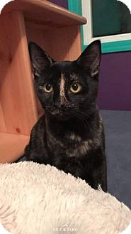 Domestic Shorthair Kitten for adoption in Anchorage, Alaska - Lola