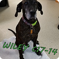 Adopt A Pet :: Wiley - Tiffin, OH