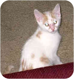 Domestic Shorthair Kitten for adoption in Troy, Michigan - Rocky