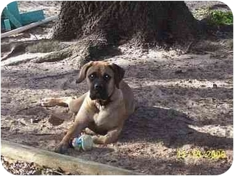 Bullmastiff Puppy for adoption in Oviedo, Florida - Sara