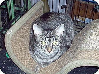 Domestic Shorthair Cat for adoption in Toronto, Ontario - Birdie