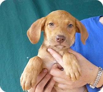 Labrador Retriever/Labrador Retriever Mix Puppy for adoption in Oviedo, Florida - Anna
