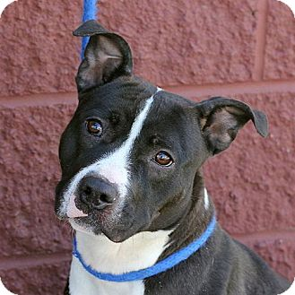 Pit Bull Terrier Mix Dog for adoption in Springfield, Illinois - Shannon