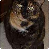 Domestic Shorthair Cat for adoption in Bryan, Texas - Kellsie