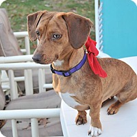 Adopt A Pet :: Callie - Cuddebackville, NY