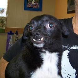 Photo 2 - Chihuahua Dog for adoption in Glendale, Arizona - Little Rocky