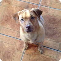 Adopt A Pet :: Abby - Huntsville, TN