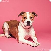 Boxer/Beagle Mix Dog for adoption in Blacklick, Ohio - Cinnamon