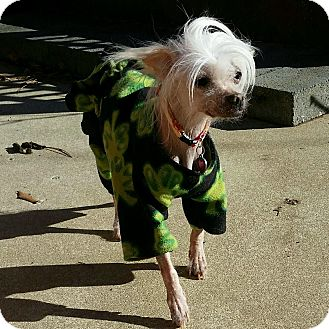 Chinese Crested Dog for adoption in Gilford, New Hampshire - Diamond (PA)