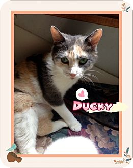 Calico Cat for adoption in Ravenna, Texas - Ducky