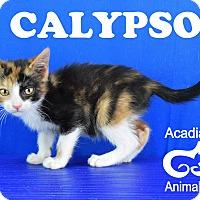 Adopt A Pet :: Calypso - Carencro, LA