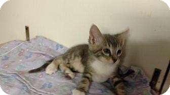 Domestic Shorthair Kitten for adoption in Land O Lakes, Florida - Fabio