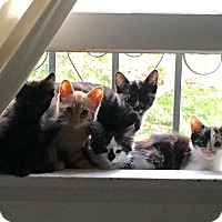 Adopt A Pet :: KITTENS - Los Angeles, CA