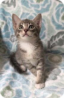 Domestic Shorthair Kitten for adoption in Westminster, California - Fontina