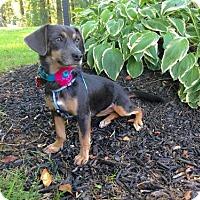 Adopt A Pet :: Kizzy - Potomac, MD