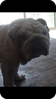 English Bulldog Dog for adoption in Santa Ana, California - Curly