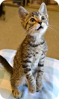 Domestic Shorthair Kitten for adoption in Michigan City, Indiana - Peppermint