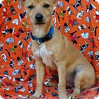 Adopt A Pet :: Pumpkin - Charlotte, NC